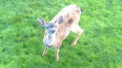 Our resident orphaned deer