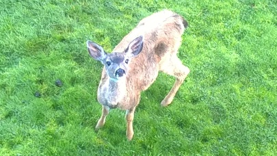 Our resident orphaned deer