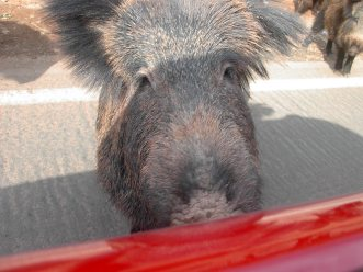 Javali (wild boar) not usually this curious!