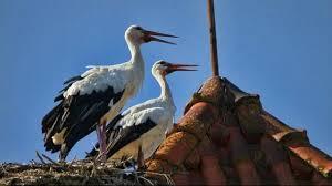 White Storks in Algarve